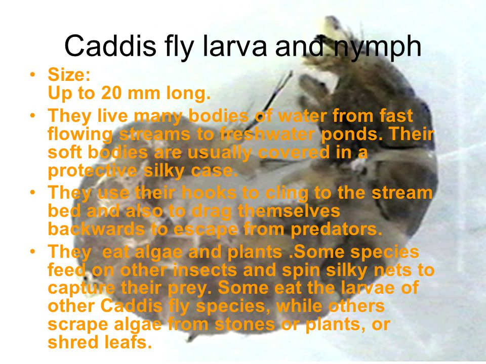 Caddis fly larva and nymph Size: Up to 20 mm long. They live many bodies of water from fast flowing streams to freshwater ponds. Their soft bodies are