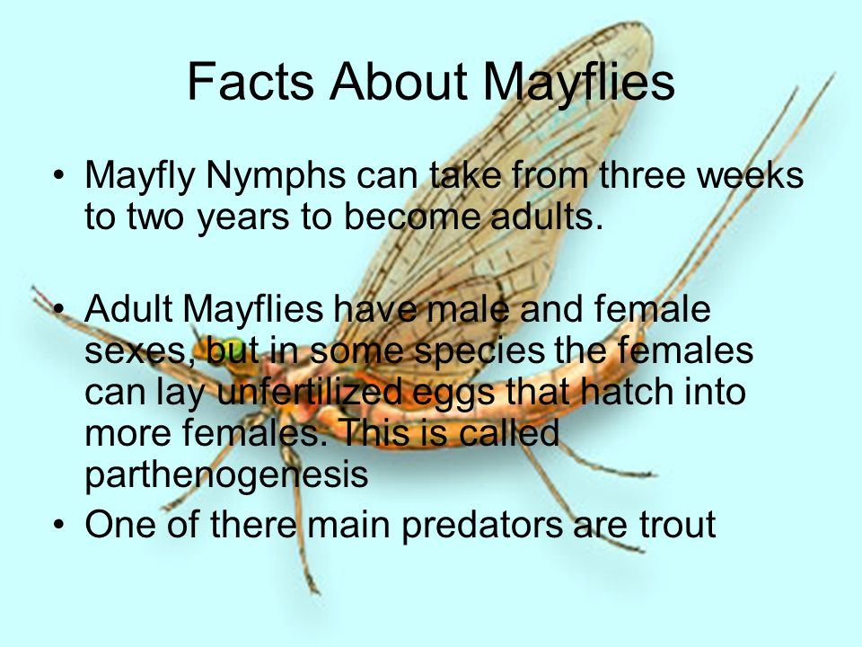 Facts About Mayflies Mayfly Nymphs can take from three weeks to two years to become adults. Adult Mayflies have male and female sexes, but in some spe