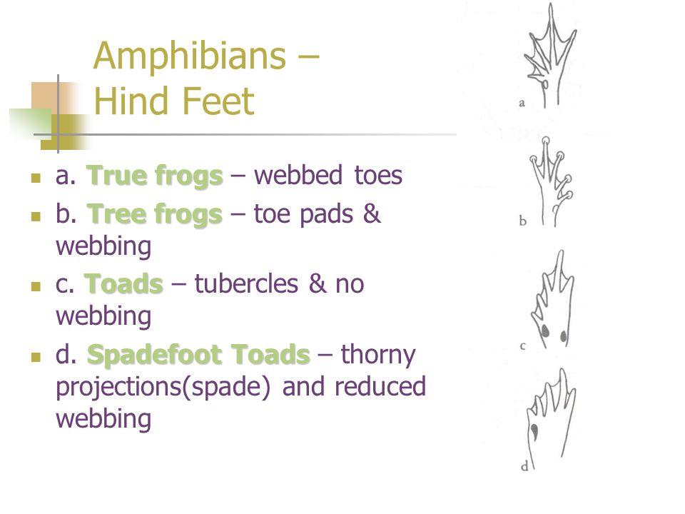 Amphibians – Hind Feet True frogs a. True frogs – webbed toes Tree frogs b. Tree frogs – toe pads & webbing Toads c. Toads – tubercles & no webbing Sp