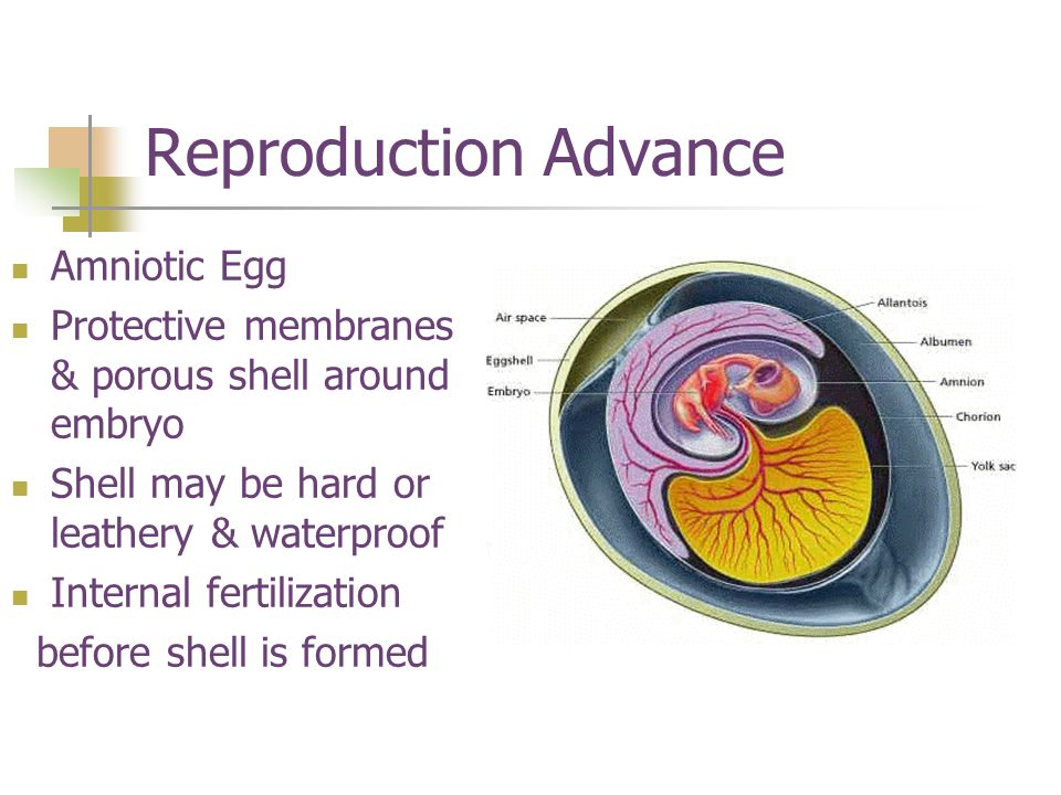 Reproduction Advance Amniotic Egg Protective membranes & porous shell around embryo Shell may be hard or leathery & waterproof Internal fertilization before shell is formed
