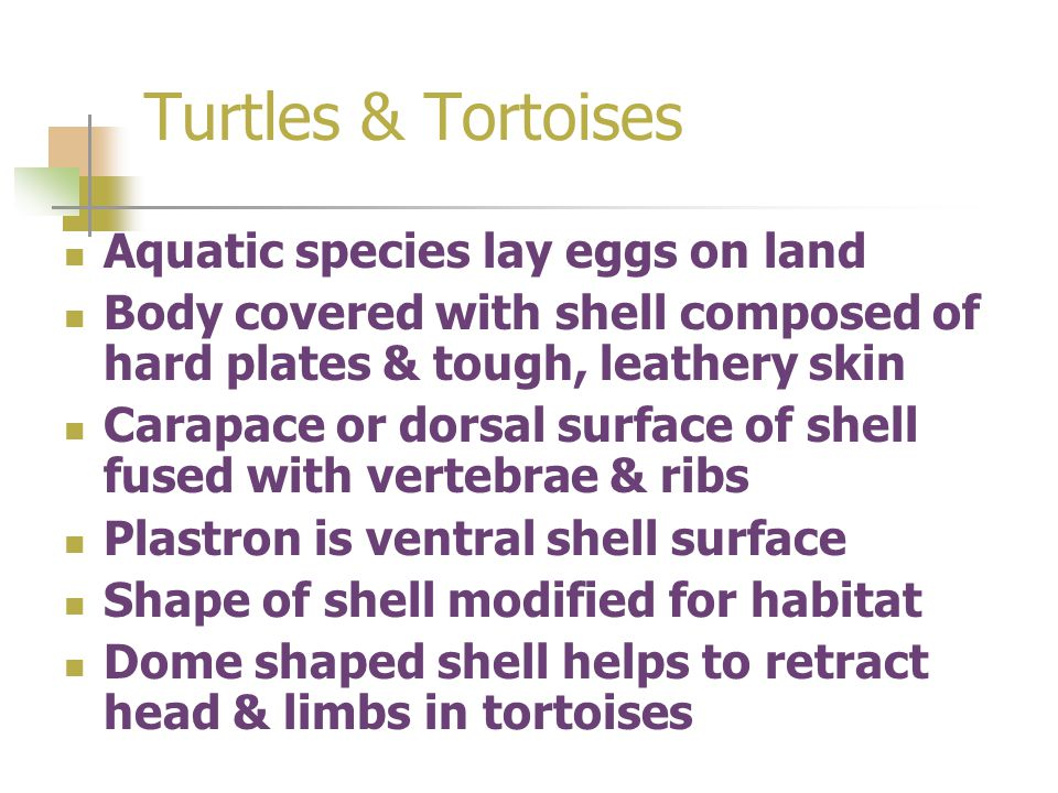 Turtles & Tortoises Aquatic species lay eggs on land Body covered with shell composed of hard plates & tough, leathery skin Carapace or dorsal surface