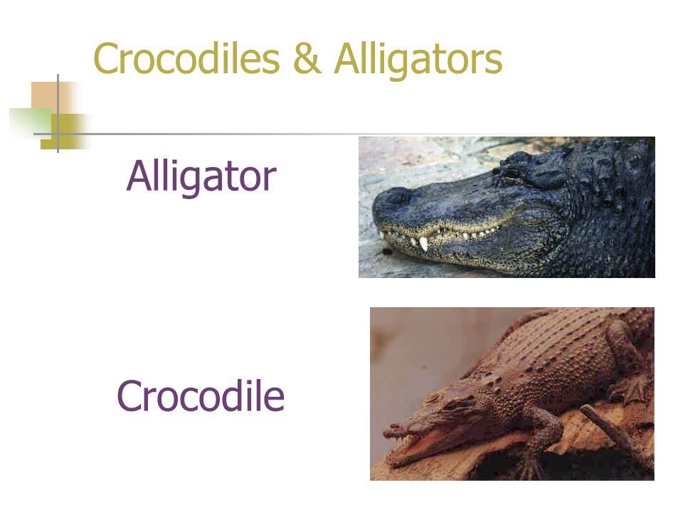 Crocodiles & Alligators Alligator Crocodile