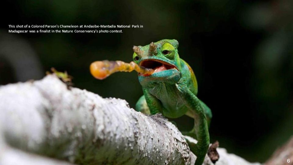 This shot of a Colored Parson s Chameleon at Andasibe-Mantadia National Park in Madagascar was a finalist in the Nature Conservancy s photo contest.