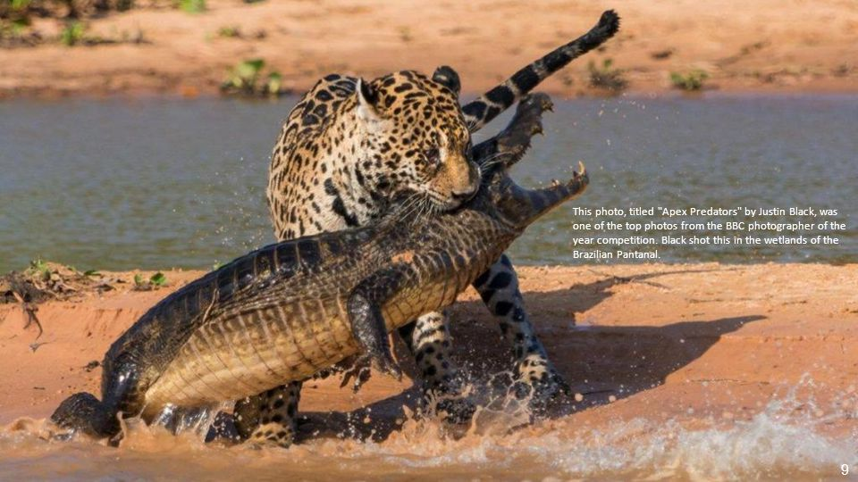 This photo, titled Apex Predators by Justin Black, was one of the top photos from the BBC photographer of the year competition.