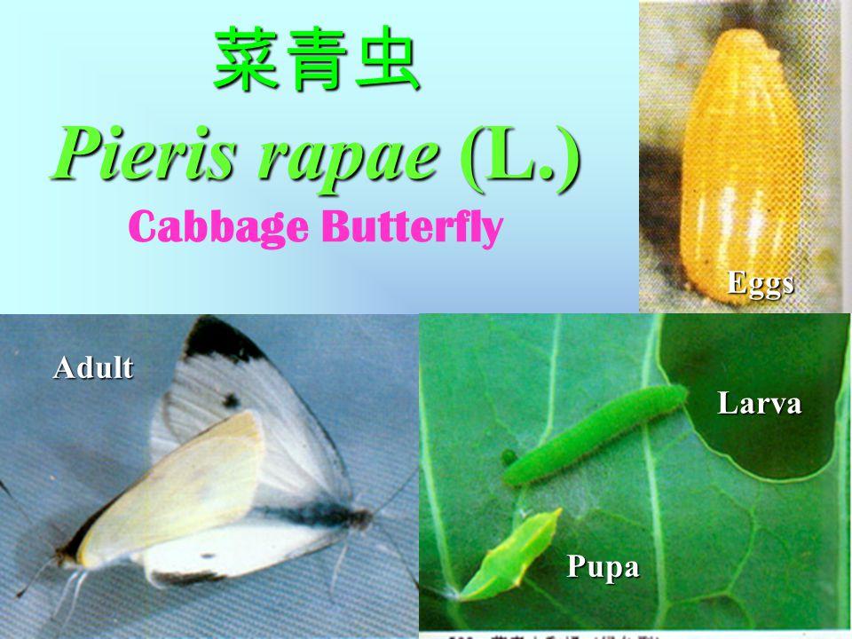 菜青虫 Pieris rapae (L.) 菜青虫 Pieris rapae (L.) Cabbage Butterfly 1.