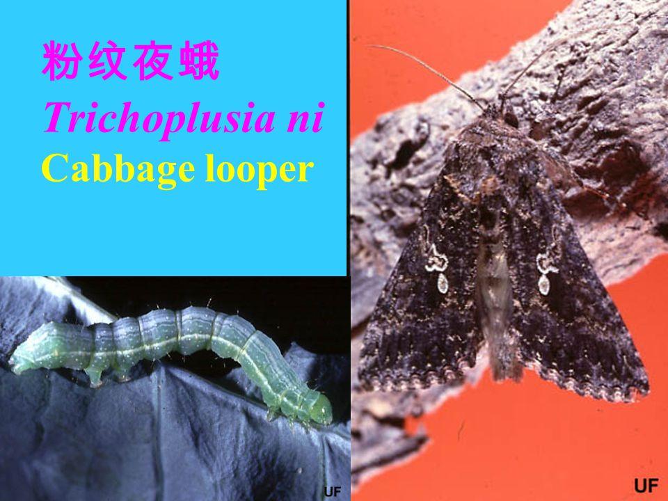 粉纹夜蛾 Trichoplusia ni Cabbage looper Eggs Larvae