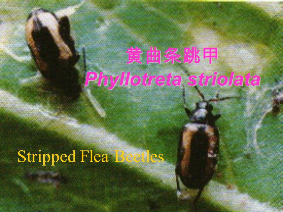 黄曲条跳甲 Phyllotreta striolata Stripped Flea Beetles