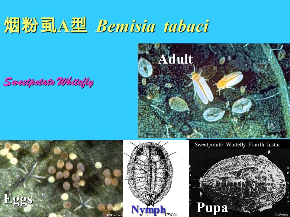 烟粉虱 A 型 Bemisia tabaci Sweetpotato Whitefly Adult Nymph Pupa Eggs