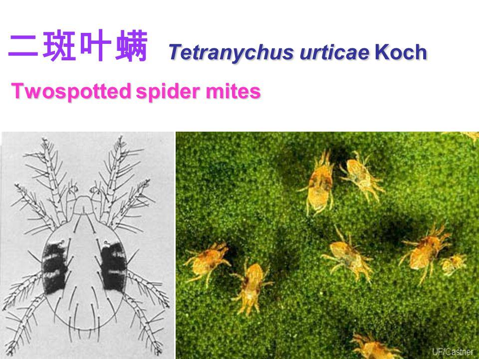 Tetranychus urticae Koch Twospotted spider mites 二斑叶螨 Tetranychus urticae Koch Twospotted spider mites