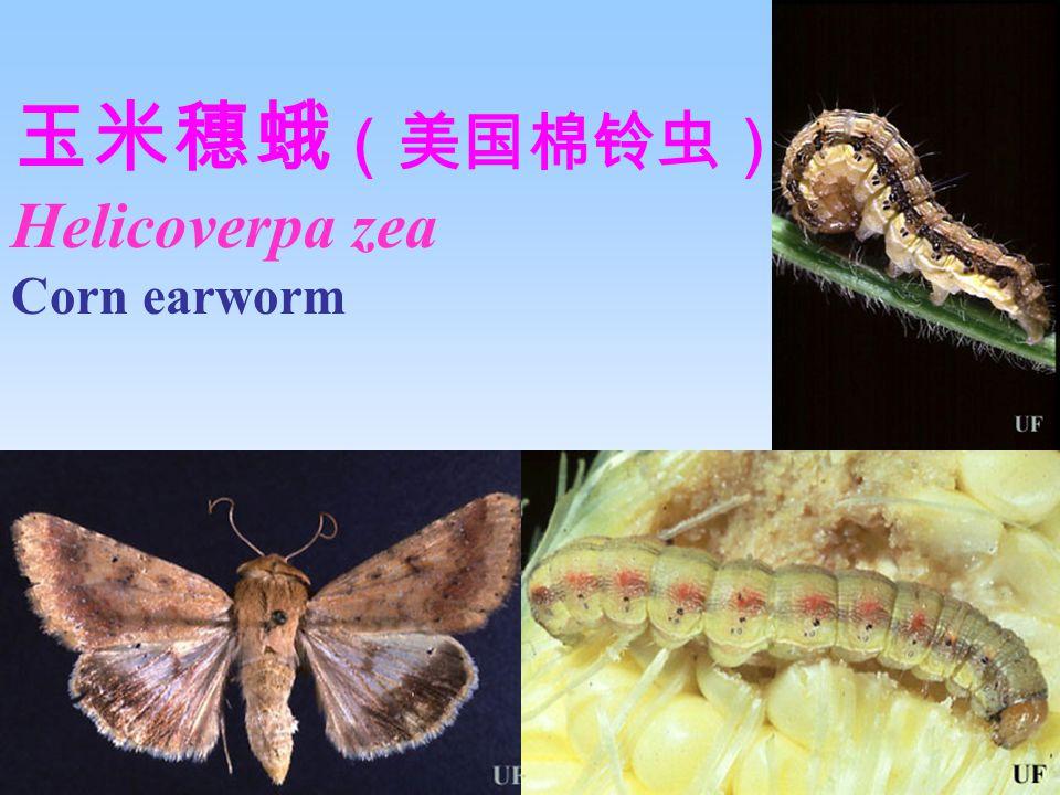 玉米穗蛾 (美国棉铃虫) Helicoverpa zea Corn earworm Larva Damage