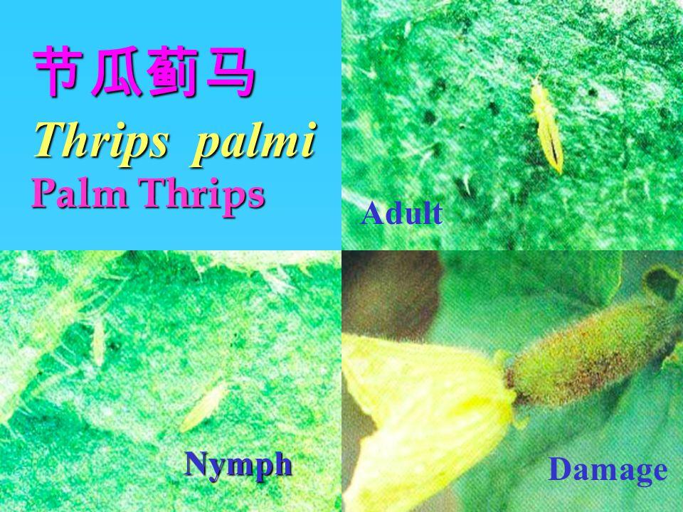 节瓜蓟马 Thrips palmi Palm Thrips 1.Distribution:Southeast Asia, Japan, South China.