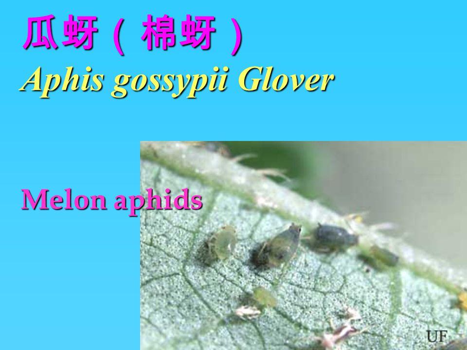 瓜蚜(棉蚜) Aphis gossypii Glover Melon aphids