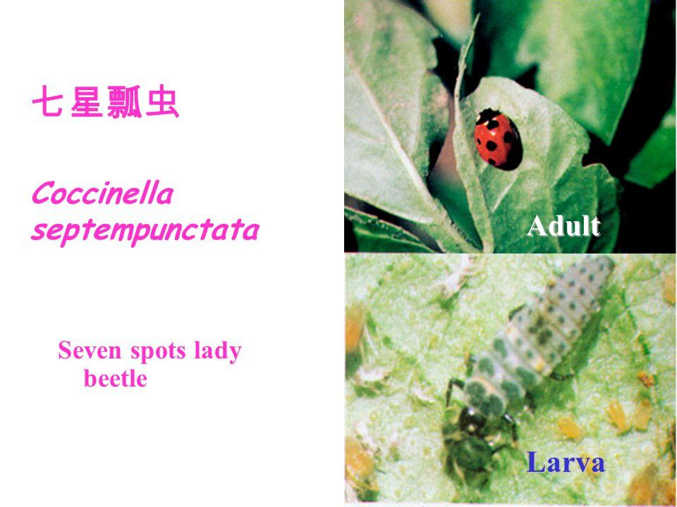 Seven spots lady beetle 七星瓢虫 Coccinella septempunctata Adult Larva