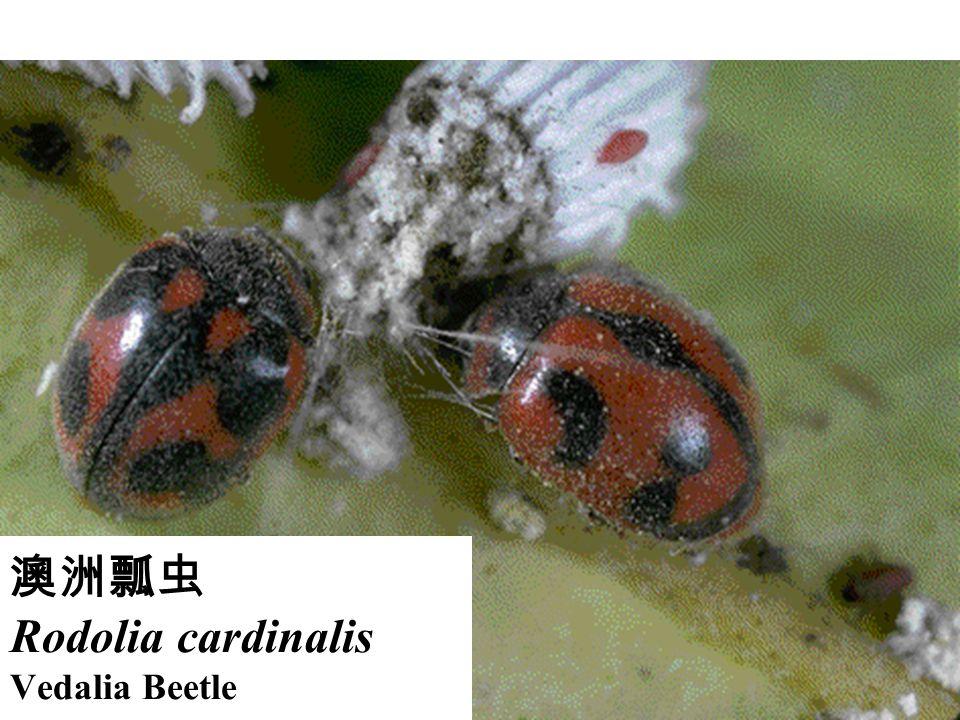 澳洲瓢虫 Rodolia cardinalis Vedalia Beetle