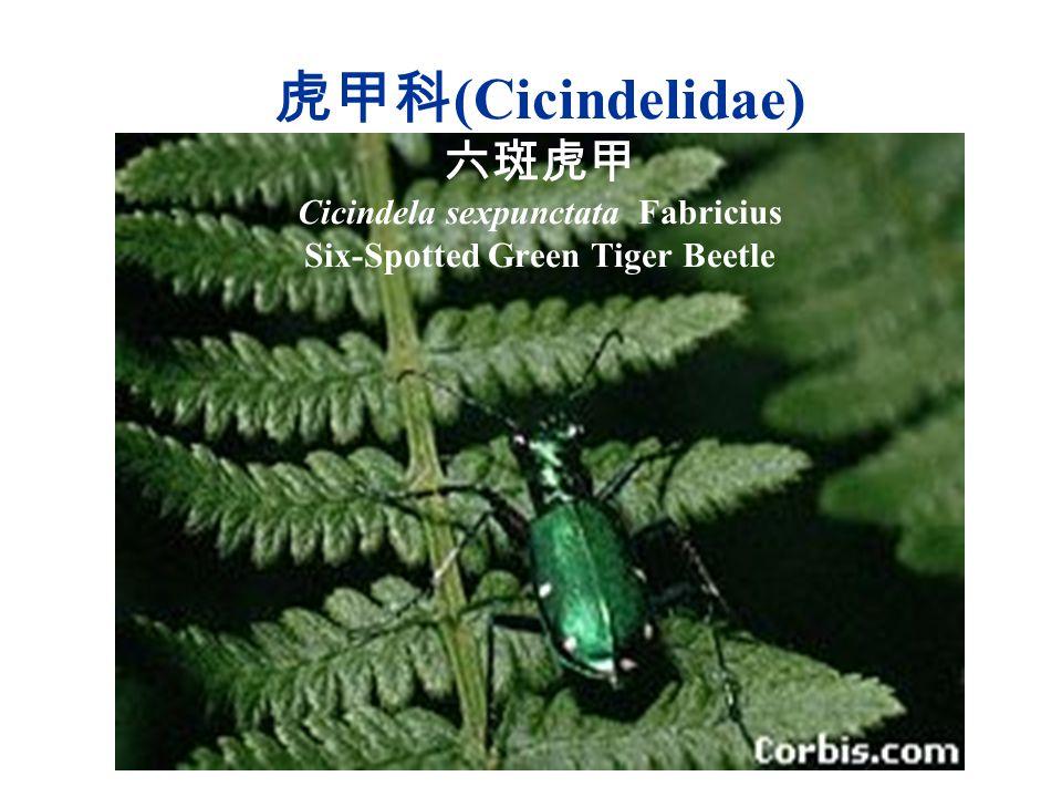 虎甲科 (Cicindelidae) 六斑虎甲 Cicindela sexpunctata Fabricius Six-Spotted Green Tiger Beetle