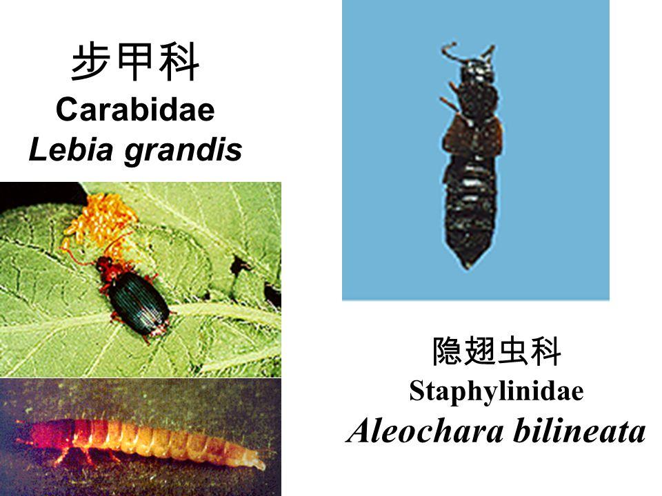 步甲科 Carabidae Lebia grandis 隐翅虫科 Staphylinidae Aleochara bilineata
