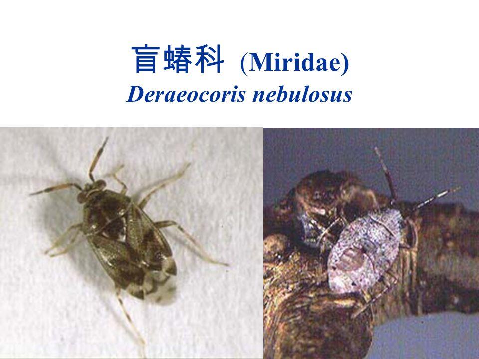 盲蝽科 (Miridae) Deraeocoris nebulosus