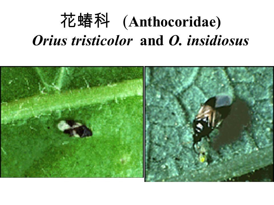 花蝽科 ( Anthocoridae) Orius tristicolor and O. insidiosus Nnnn hhh Ll ll