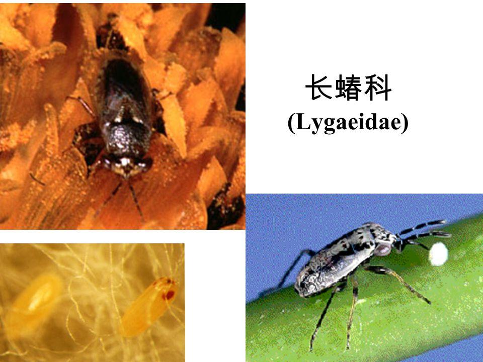 长蝽科 (Lygaeidae)