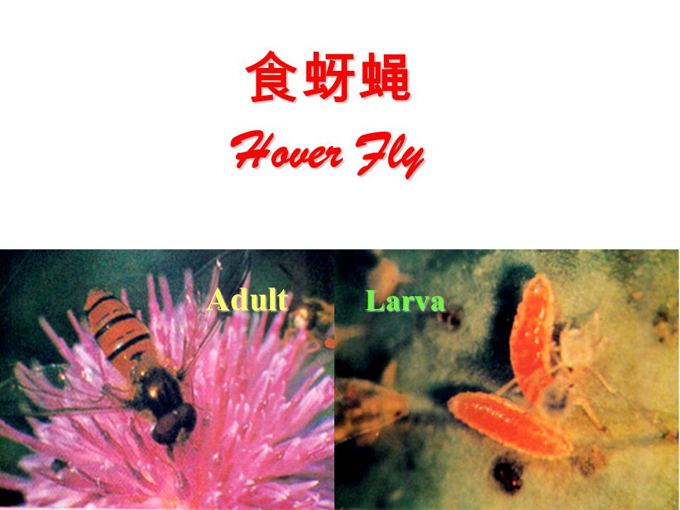 Adult Larva 食蚜蝇 Hover Fly