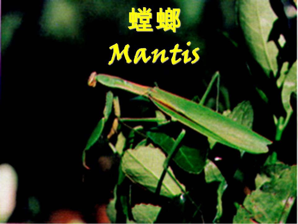螳螂 Mantis