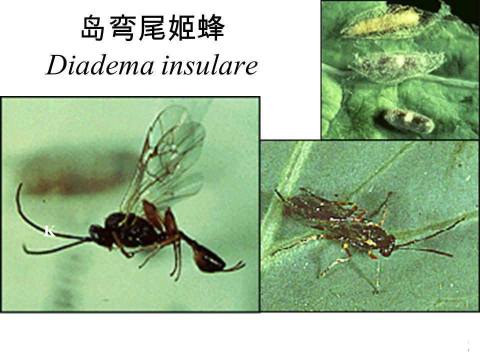 岛弯尾姬蜂 Diadema insulare KkKk K