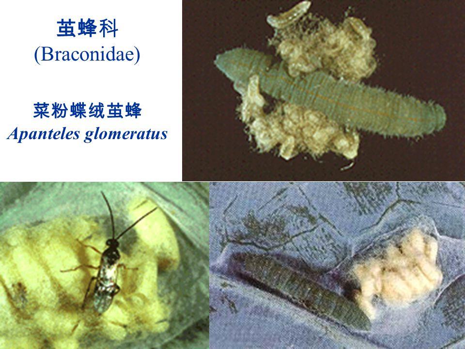 茧蜂科 (Braconidae) 菜粉蝶绒茧蜂 Apanteles glomeratus