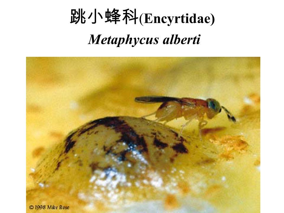 跳小蜂科 (Encyrtidae) Metaphycus alberti
