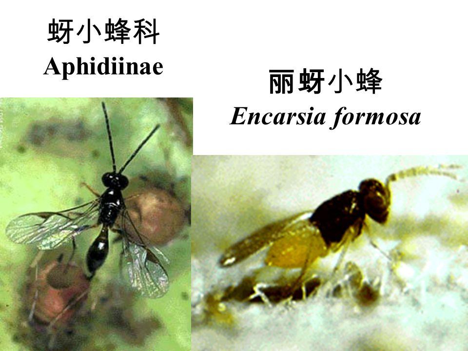 蚜小蜂科 Aphidiinae 丽蚜小蜂 Encarsia formosa