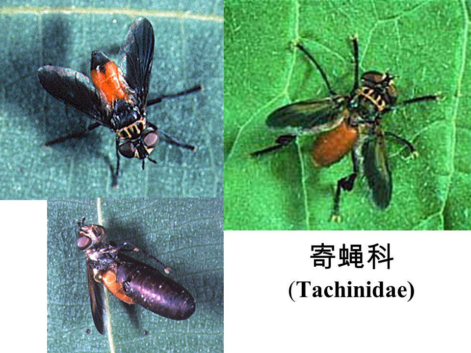 寄蝇科 (Tachinidae)