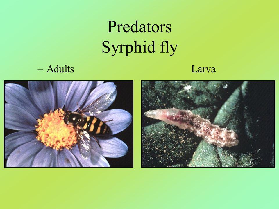 Predators Syrphid fly –AdultsLarva