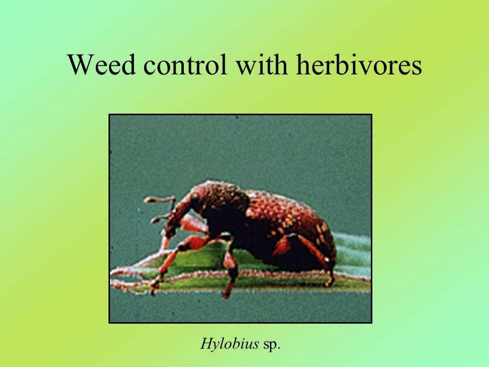 Weed control with herbivores Hylobius sp.