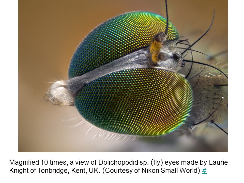 Magnified 10 times, a view of Dolichopodid sp.