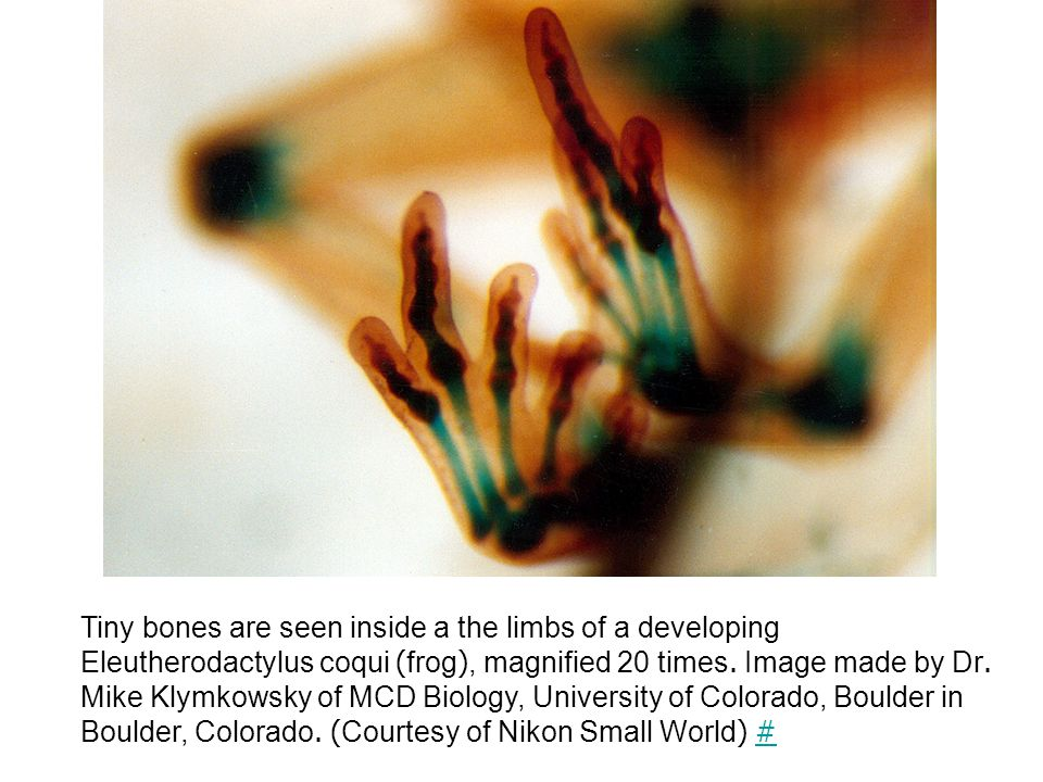 Tiny bones are seen inside a the limbs of a developing Eleutherodactylus coqui (frog), magnified 20 times.