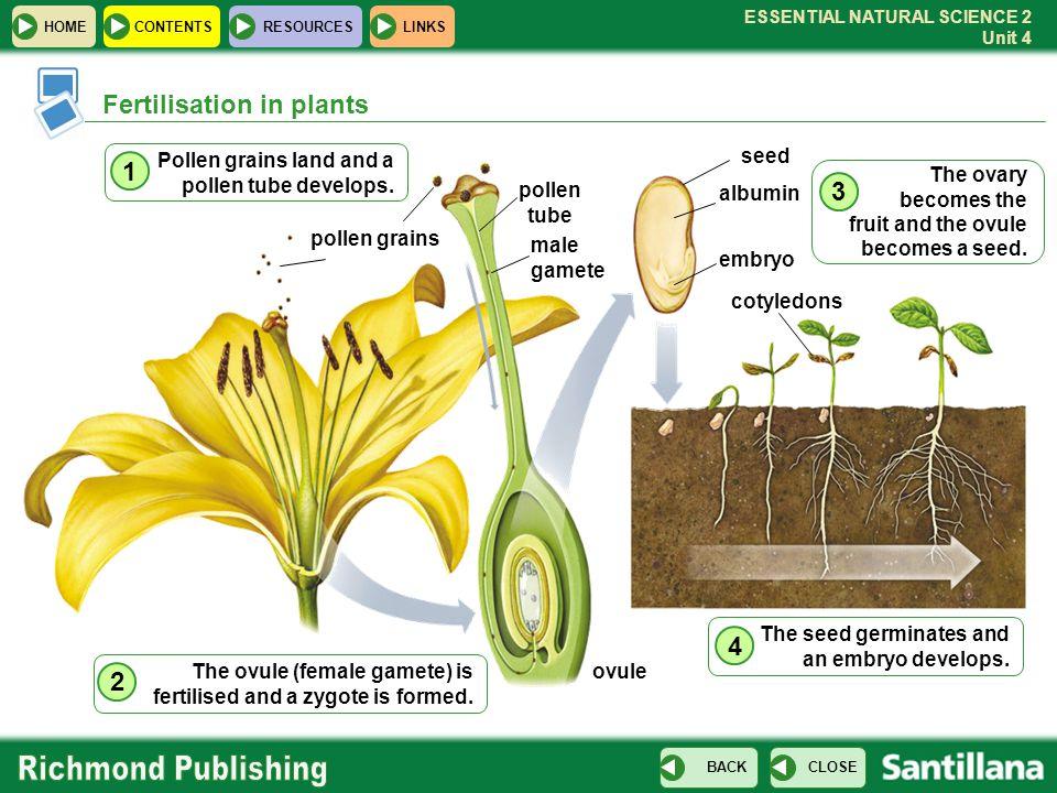 ESSENTIAL NATURAL SCIENCE 2 Unit 4 HOMECONTENTS RESOURCES CLOSE BACK LINKS Fertilisation in plants Pollen grains land and a pollen tube develops. 1 po