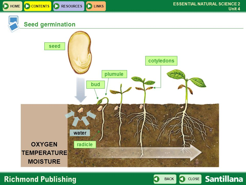 ESSENTIAL NATURAL SCIENCE 2 Unit 4 HOMECONTENTS RESOURCES CLOSE BACK LINKS cotyledons radicle plumule bud Seed germination OXYGEN TEMPERATURE MOISTURE