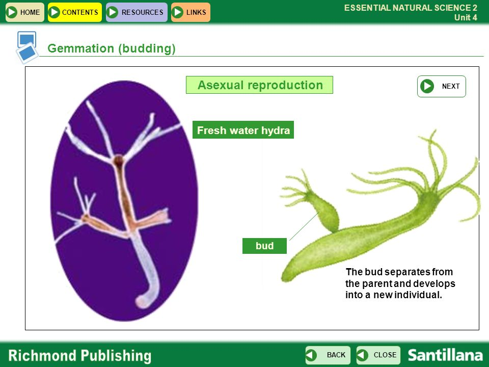 ESSENTIAL NATURAL SCIENCE 2 Unit 4 HOMECONTENTS RESOURCES CLOSE BACK LINKS Gemmation (budding) Asexual reproduction Fresh water hydra bud The bud sepa
