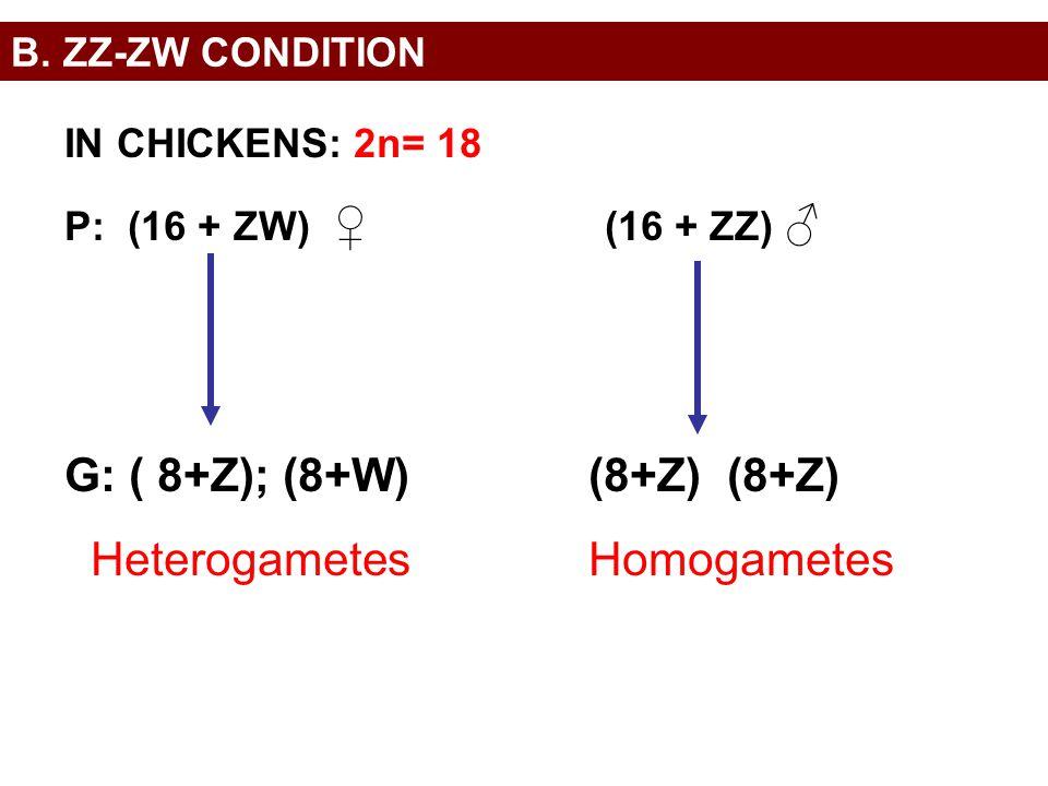 B. ZZ-ZW CONDITION IN CHICKENS: 2n= 18 P: (16 + ZW) ♀ (16 + ZZ) ♂ G: ( 8+Z); (8+W)(8+Z) (8+Z) HeterogametesHomogametes
