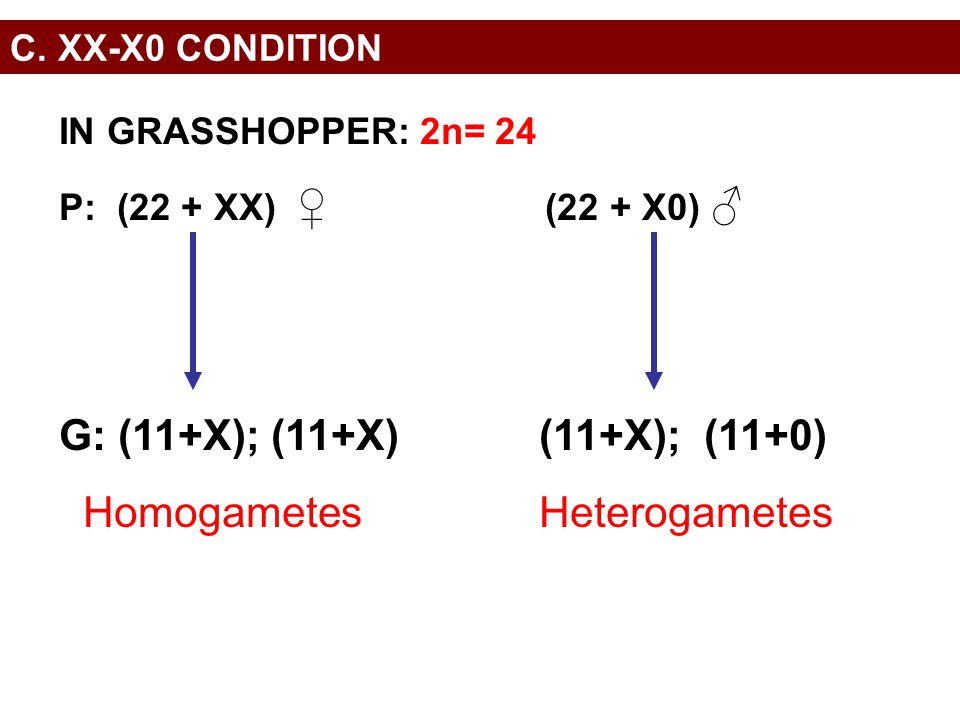 C. XX-X0 CONDITION IN GRASSHOPPER: 2n= 24 P: (22 + XX) ♀ (22 + X0) ♂ G: (11+X); (11+X)(11+X); (11+0) HomogametesHeterogametes