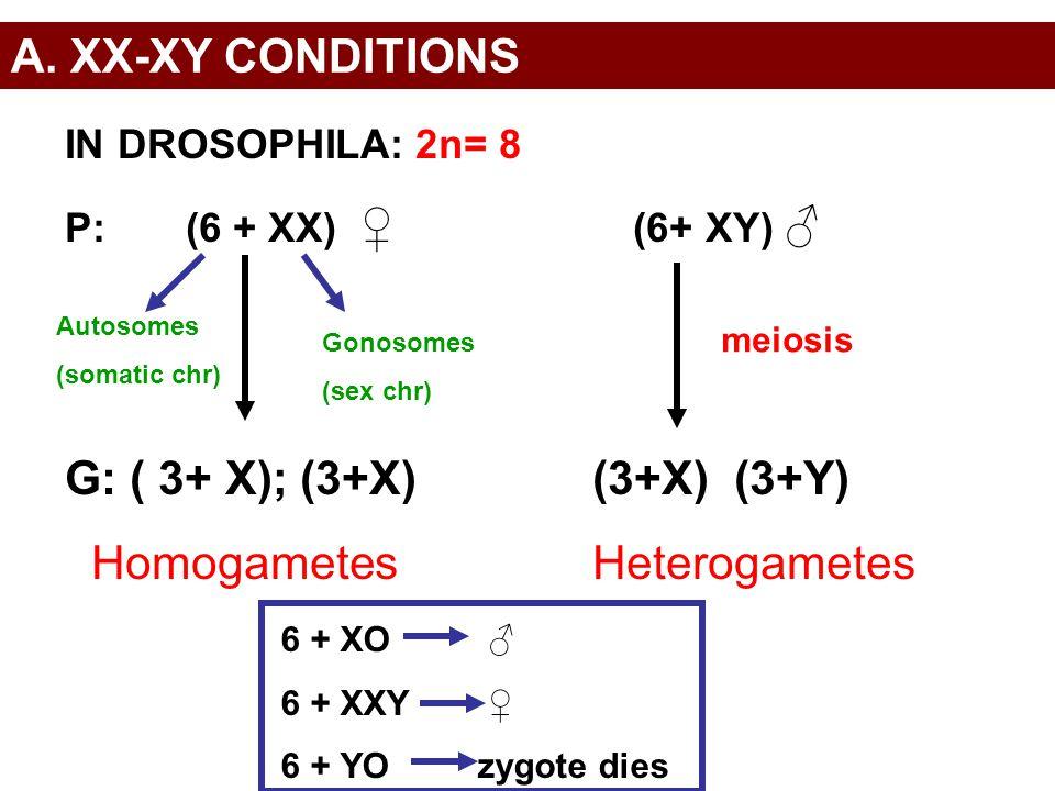 A. XX-XY CONDITIONS IN DROSOPHILA: 2n= 8 P: (6 + XX) ♀ (6+ XY) ♂ G: ( 3+ X); (3+X)(3+X) (3+Y) HomogametesHeterogametes meiosis Autosomes (somatic chr)