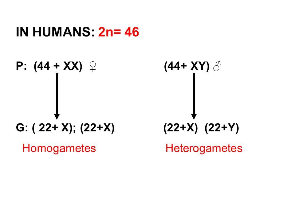 P: (44 + XX) ♀ (44+ XY) ♂ G: ( 22+ X); (22+X)(22+X) (22+Y) Homogametes Heterogametes IN HUMANS: 2n= 46