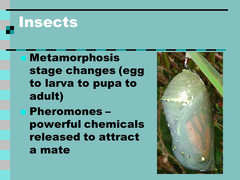 Insects Metamorphosis stage changes (egg to larva to pupa to adult) Pheromones – powerful chemicals released to attract a mate