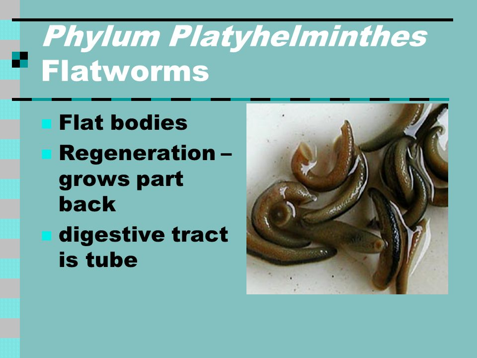 Phylum Platyhelminthes Flatworms Flat bodies Regeneration – grows part back digestive tract is tube