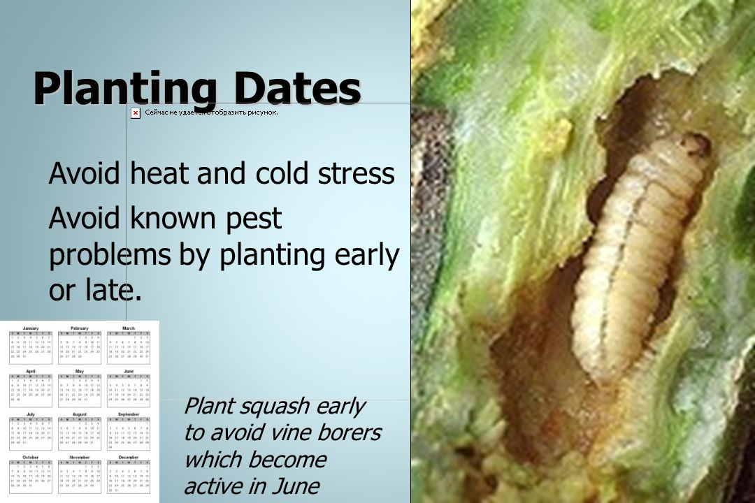 Planting Dates Avoid heat and cold stress Avoid known pest problems by planting early or late. Plant squash early to avoid vine borers which become ac