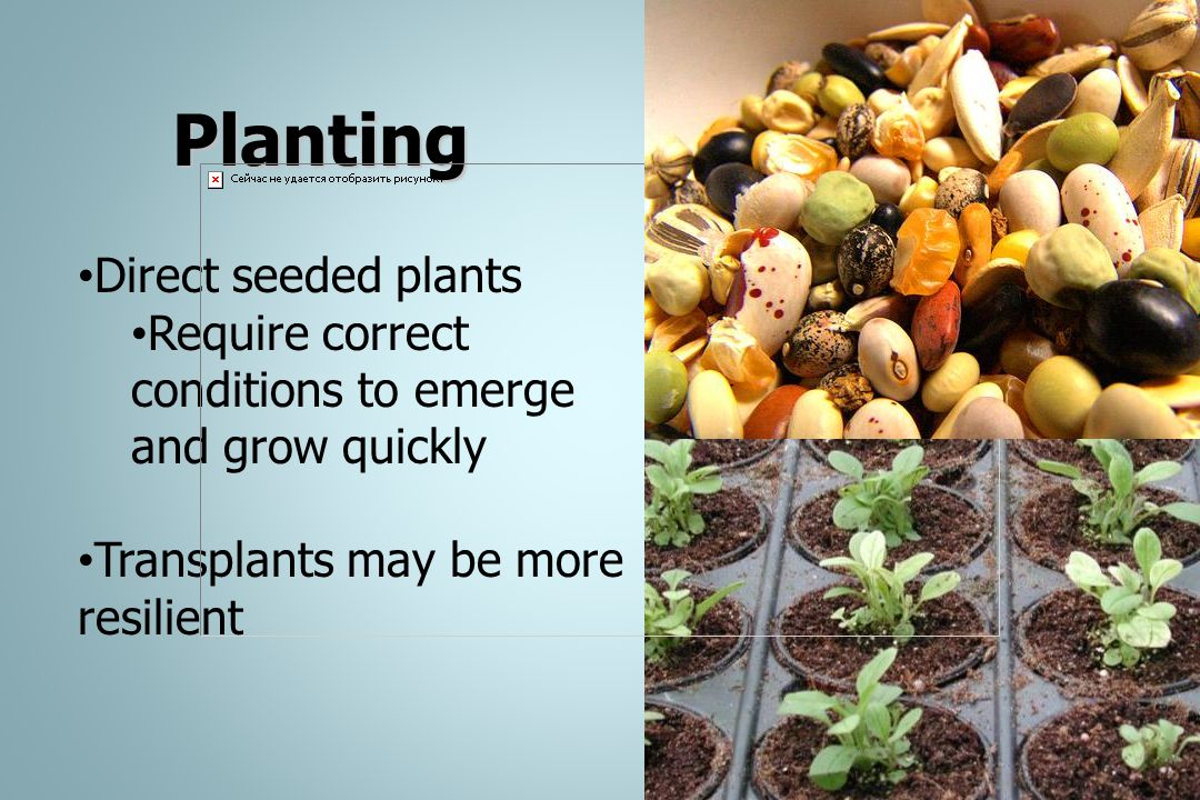Planting Direct seeded plants Require correct conditions to emerge and grow quickly Transplants may be more resilient