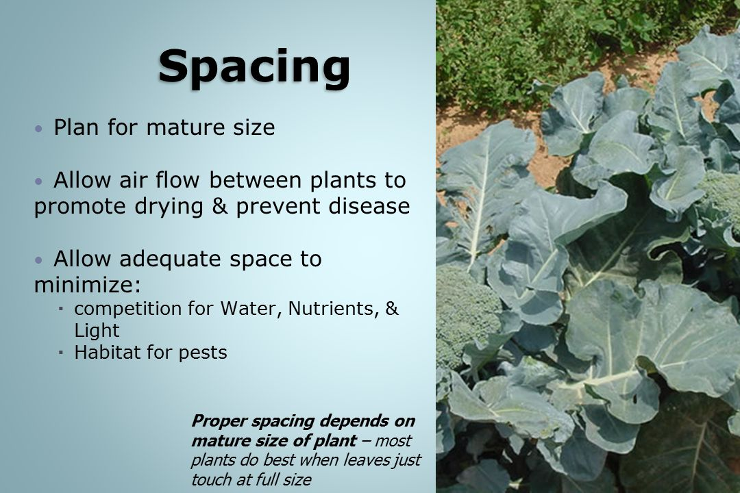 Plan for mature size Allow air flow between plants to promote drying & prevent disease Allow adequate space to minimize:  competition for Water, Nutrients, & Light  Habitat for pests Proper spacing depends on mature size of plant – most plants do best when leaves just touch at full size