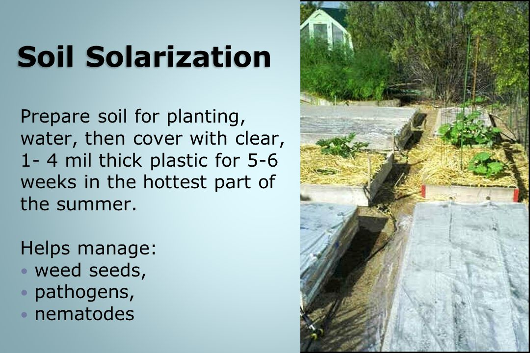 Prepare soil for planting, water, then cover with clear, 1- 4 mil thick plastic for 5-6 weeks in the hottest part of the summer.