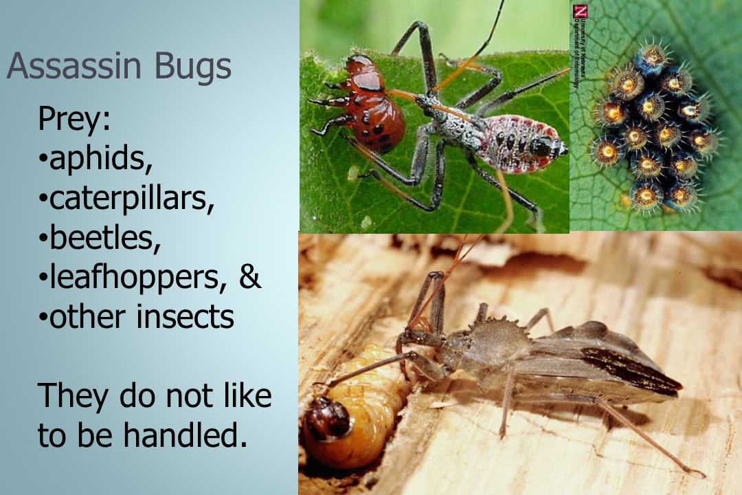 Assassin Bugs Prey: aphids, caterpillars, beetles, leafhoppers, & other insects They do not like to be handled.
