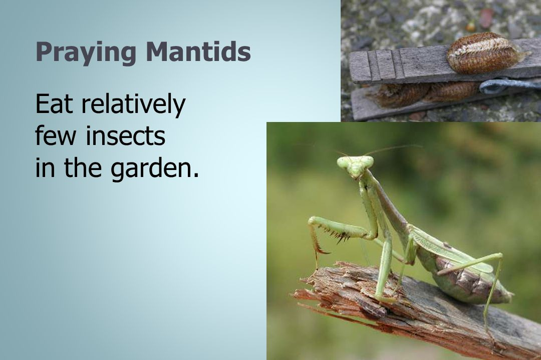 Praying Mantids Eat relatively few insects in the garden.