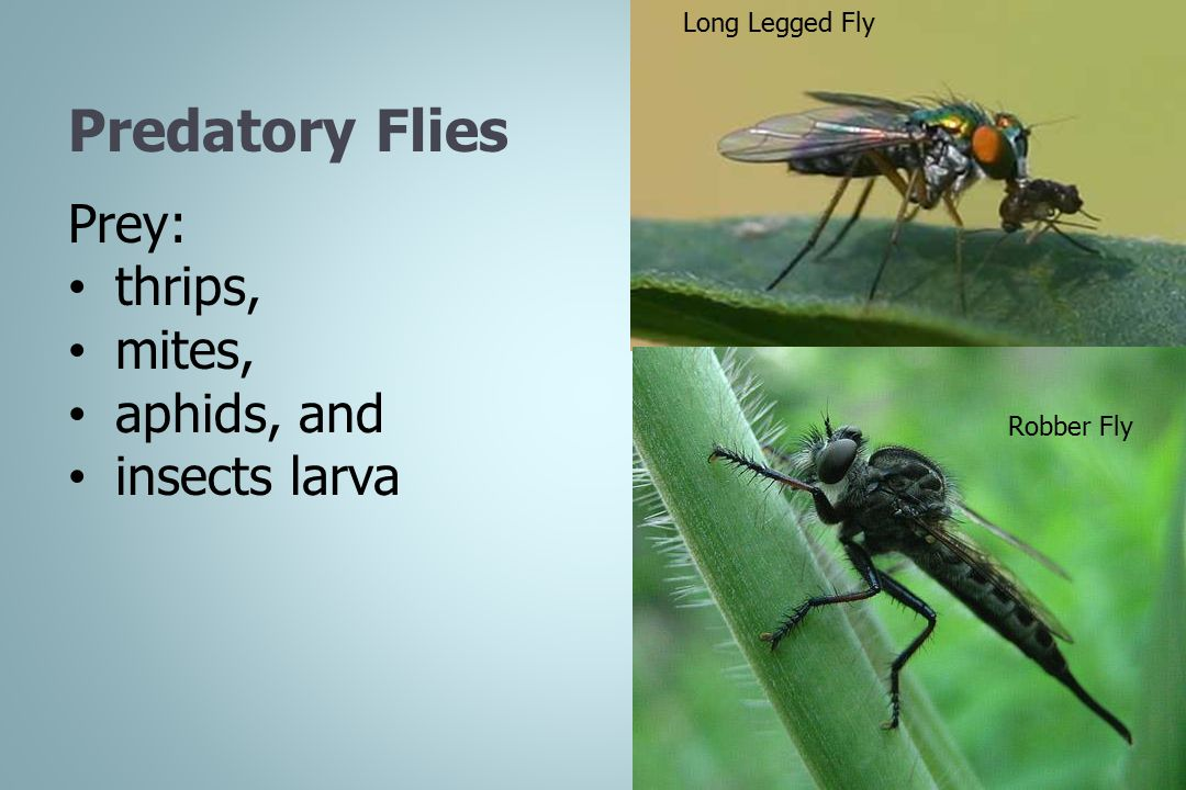 Predatory Flies Prey: thrips, mites, aphids, and insects larva Long Legged Fly Robber Fly